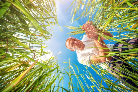 farmer_upwards_angles_thorugh_crop_istock